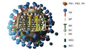 Color Coded depiction of the Influenza virus